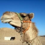 camel desert travel